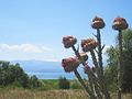 Plants despite Prespa lake.jpg