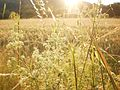 Plants of a field border in evening sunshine, cereal field in valley of river Lahn near a street in Marburg 2017-06-21.jpg