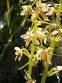 Platanthera chlorantha04.jpg