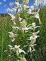 Platanthera chlorantha 19.jpg