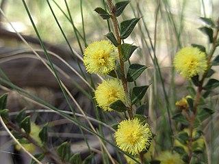 <i>Acacia gunnii</i> Species of plant