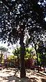 Podocarpus Macrophyllus, Piazza Cavour, Napoli (prima foto).jpg