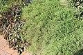 Pogonatherum paniceum 4zz.jpg