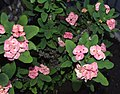 Poisonous Flower-Porto Ulisse-Ognina-Catania-Sicilia-Italy-Castielli CC0 HQ - panoramio - gnuckx (1).jpg