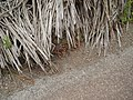 Polycarpon tetraphyllum L. (AM AK301530-2).jpg