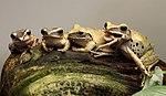 Polypedates leucomystax weissbart ruderfrosch.jpg