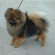 Orange Sable Pomeranian dog