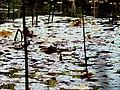 Pond Cameron NC 3859 (15753758735).jpg