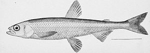 Smelt (fish) - Pond smelt (Hypomesus olidus)