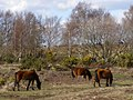 Ponies grazing between Trenley Lawn and Furzy Hill, New Forest - geograph.org.uk - 146292.jpg