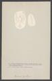 Pontonia tyrrhena - - Print - Iconographia Zoologica - Special Collections University of Amsterdam - UBAINV0274 006 02 0042.tif