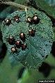 Popillia japonica (26).jpg