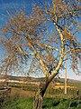 Populus canescens Habitus DehesaBoyal de Puertollano.jpg