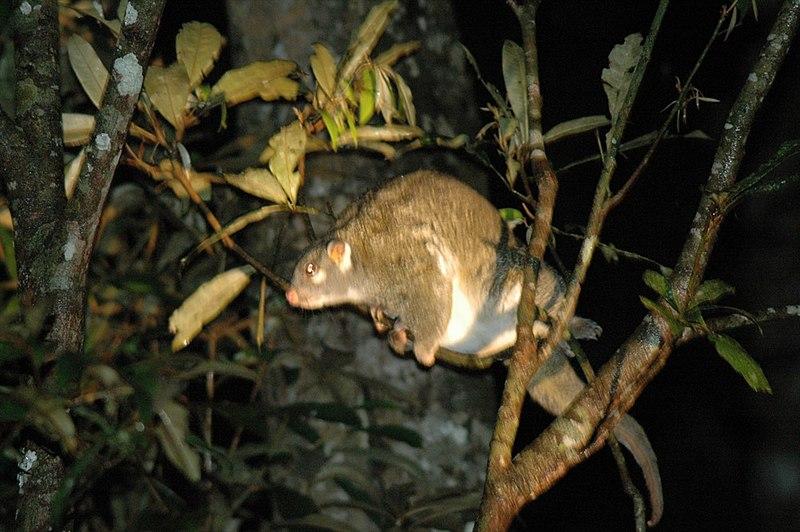 File:Possum vert.jpg