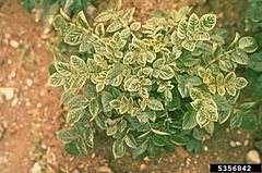 Potato Leaf Roll Virus UGA5356842.jpg