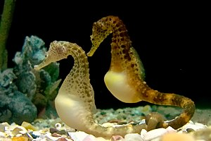 Tennessee Aquarium - Potbelly seahorses on exhibit in River Journey