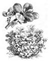Pourpier doré à large feuille Vilmorin-Andrieux 1883.png