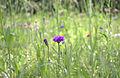 Prairie fleur violette Compans 2.jpg