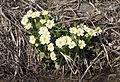 Primula - Çuhaçiçeği 03.jpg