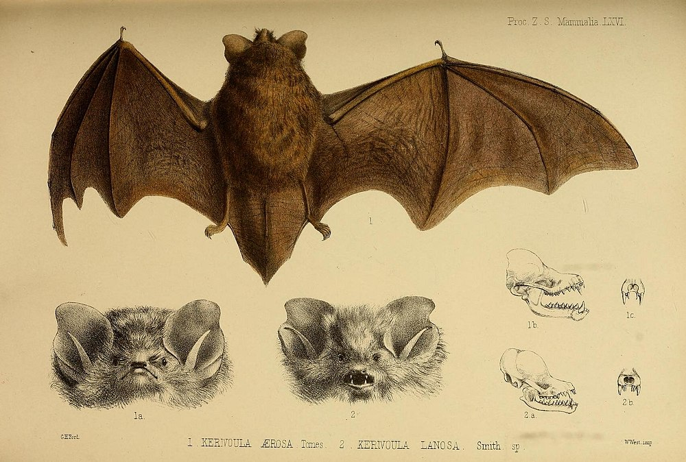 The average adult weight of a Lesser woolly bat is 6 grams (0.01 lbs)