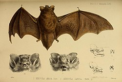 Proceedings of the Zoological Society of London (Mammalia Plate LXVI) (7630005794).jpg