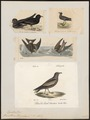 Procellaria leucorrhoa - 1700-1880 - Print - Iconographia Zoologica - Special Collections University of Amsterdam - UBA01 IZ17900048.tif