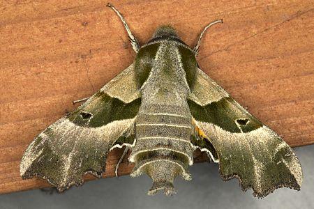 Proserpinus proserpina02(js), Lodz(Poland).jpg