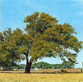 <i>Prosopis affinis</i> species of plant