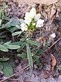 Prunella laciniata sl21.jpg