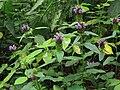 Prunella vulgaris Kiev1.jpg