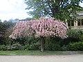 Prunus devant le pavillon Gabriel.jpg