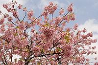Prunus lannesiana cv. Kawazu-zakura 04.jpg