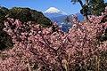 Prunus lannesiana cv. Kawazu-zakura and Mount Fuji.jpg