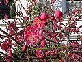 Prunus mume4.jpg