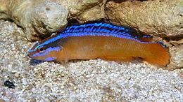 Pseudochromis aldabraensis.JPG