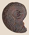 Pseudogrammoceras expeditum 01.JPG