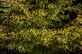 Pseudolarix amabilis, Timaru Botanic Garden, New Zealand 03.jpg