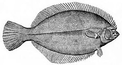 Flounder - Wikipedia