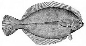 Sinistral and dextral - Flatfish are asymmetrical, with both eyes lying on the same side of the head