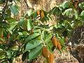 Pterospermum xylocarpum (Gaertn)S&W.jpg