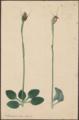 Pterostylis obtusa by Susan Fereday.png
