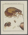 Pulex - Print - Iconographia Zoologica - Special Collections University of Amsterdam - UBAINV0274 039 09 0002A.tif