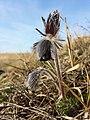 Pulsatilla pratensis (subsp. nigricans) sl32.jpg