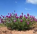 Purple-flowered plants in Maragheh, Iran.jpg