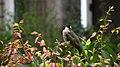 Pycnonotus sinensis - panoramio (003).jpg
