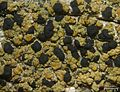Pycnora xanthococca - Flickr - pellaea.jpg