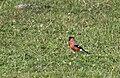 Pyrrhula pyrrhula - Eurasian Bullfinch, Giresun 2018-08-16 02.jpg