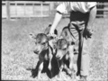 Queensland State Archives 1714 Identical twin Jersey bull calves October 1952.png