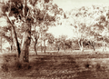 Queensland State Archives 2314 Savannah type grazing land at Jimbour Station Darling Downs 1897.png