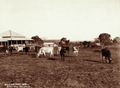 Queensland State Archives 2336 Cattle and homestead at Gillins farm near Allora 1897.png